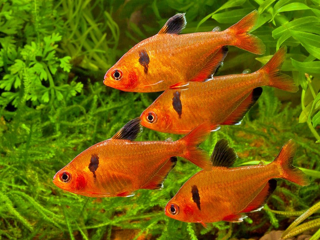 Looking For A Community Tank Here Are 7 Best Serpae Tetra Tank Mates