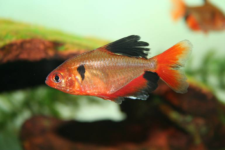 Red Color Tetra